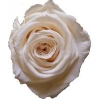 Dárková stabilizovaná růže - champagne