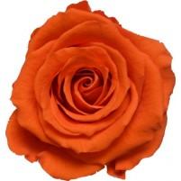 Dárková stabilizovaná růže - oranžová