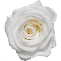Dárková stabilizovaná růže - bílá