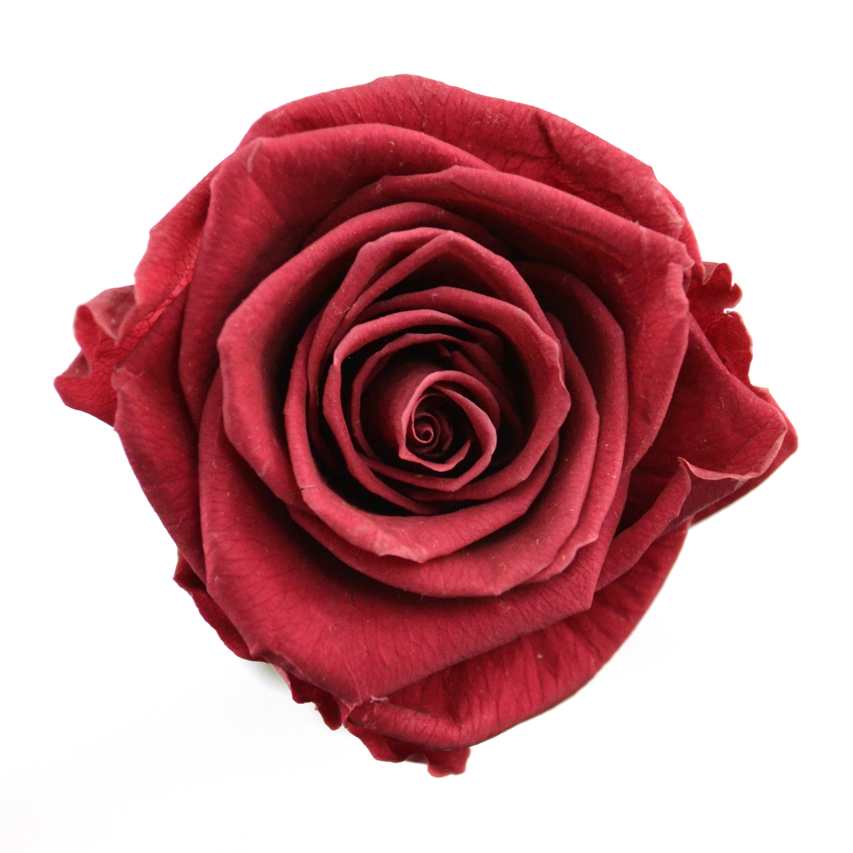 Dárková stabilizovaná růže - brusinková