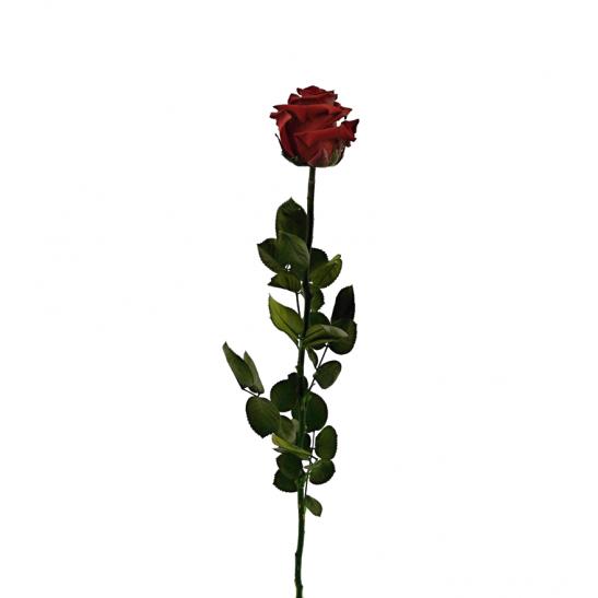 Stabilizovaná růže - rudá (Volné balení, Burgundy)