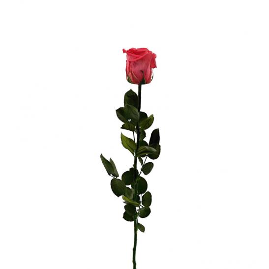 Stabilizovaná růže - tmavě růžová (Volné balení, Dark pink)