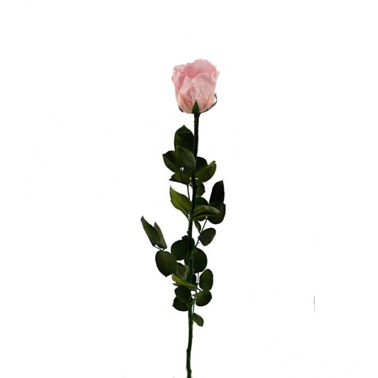 Stabilizovaná růže - světle růžová (Volné balení, Light pink)