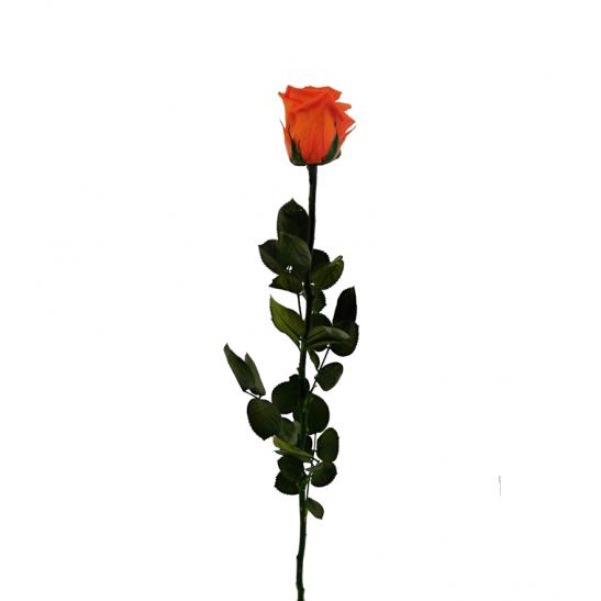 Stabilizovaná růže - oranžová (Volné balení, Orange)