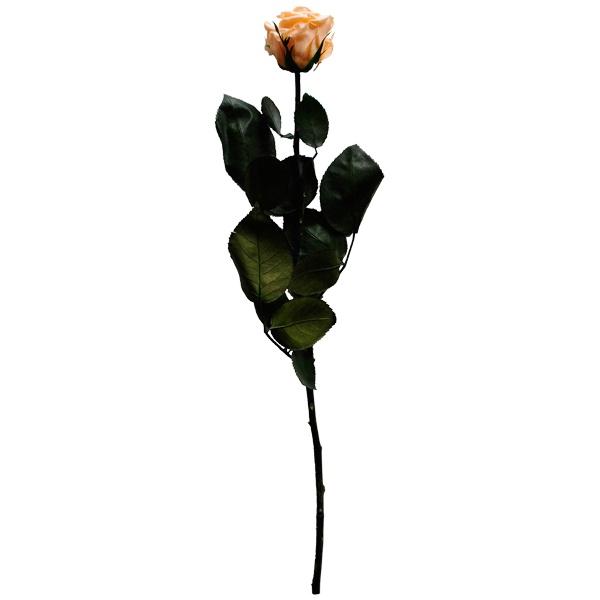 Stabilizovaná růže - broskvová (Volné balení, Peach)