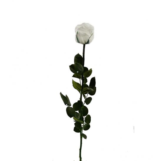 Stabilizovaná růže - bílá (Volné balení, White)