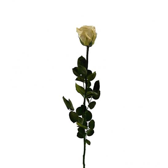 Stabilizovaná růže - cappuccino (Volné balení, Cappuccino)