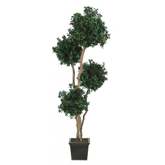 Pitosporum tenuifolium 4 balls tree