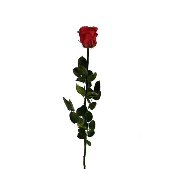 Stabilizovaná růže - červená (Volné balení, Red)