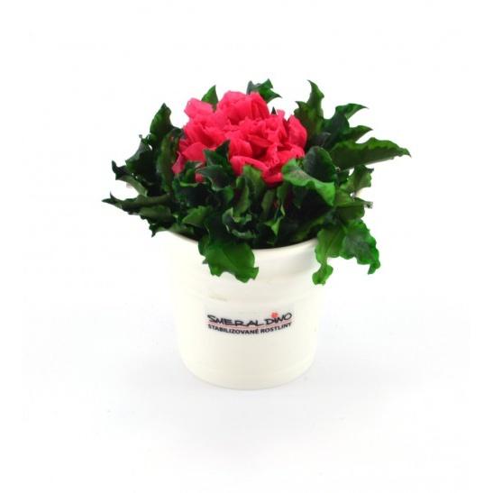 Karafiát v květináčku