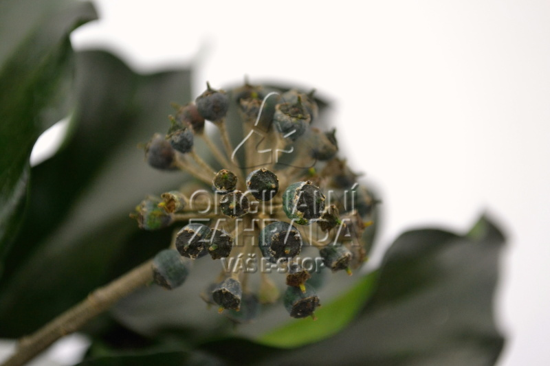 Hedera Arborea Fruits